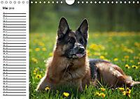 Deutsche Schäferhunde - Liebenswerte Graunasen (Wandkalender 2019 DIN A4 quer) - Produktdetailbild 5