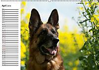 Deutsche Schäferhunde - Liebenswerte Graunasen (Wandkalender 2019 DIN A2 quer) - Produktdetailbild 4