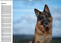 Deutsche Schäferhunde - Liebenswerte Graunasen (Wandkalender 2019 DIN A2 quer) - Produktdetailbild 7