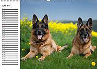 Deutsche Schäferhunde - Liebenswerte Graunasen (Wandkalender 2019 DIN A2 quer) - Produktdetailbild 6