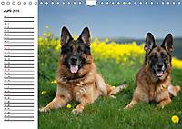 Deutsche Schäferhunde - Liebenswerte Graunasen (Wandkalender 2019 DIN A4 quer) - Produktdetailbild 6