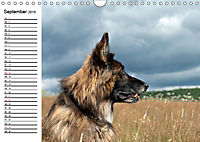 Deutsche Schäferhunde - Liebenswerte Graunasen (Wandkalender 2019 DIN A4 quer) - Produktdetailbild 9