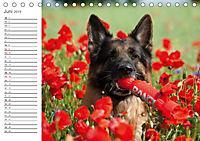 Deutsche Schäferhunde Seelentröster (Tischkalender 2019 DIN A5 quer) - Produktdetailbild 6