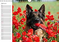 Deutsche Schäferhunde Seelentröster (Wandkalender 2019 DIN A4 quer) - Produktdetailbild 6