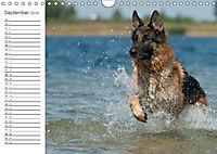 Deutsche Schäferhunde Seelentröster (Wandkalender 2019 DIN A4 quer) - Produktdetailbild 9