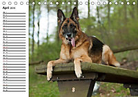 Deutsche Schäferhunde - Senioren auf vier Pfoten (Tischkalender 2019 DIN A5 quer) - Produktdetailbild 4