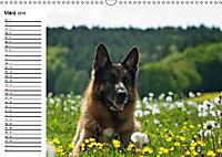 Deutsche Schäferhunde - Senioren auf vier Pfoten (Wandkalender 2019 DIN A3 quer) - Produktdetailbild 3