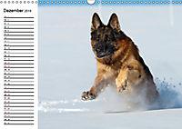 Deutsche Schäferhunde - Senioren auf vier Pfoten (Wandkalender 2019 DIN A3 quer) - Produktdetailbild 12