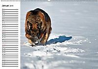 Deutsche Schäferhunde - Senioren auf vier Pfoten (Wandkalender 2019 DIN A2 quer) - Produktdetailbild 1