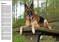 Deutsche Schäferhunde - Senioren auf vier Pfoten (Wandkalender 2019 DIN A2 quer) - Produktdetailbild 4