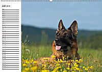 Deutsche Schäferhunde - Senioren auf vier Pfoten (Wandkalender 2019 DIN A2 quer) - Produktdetailbild 7