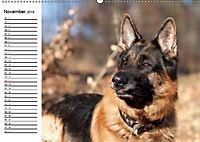 Deutsche Schäferhunde - Senioren auf vier Pfoten (Wandkalender 2019 DIN A2 quer) - Produktdetailbild 11