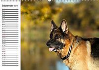 Deutsche Schäferhunde - Senioren auf vier Pfoten (Wandkalender 2019 DIN A2 quer) - Produktdetailbild 9