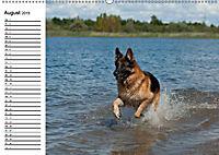 Deutsche Schäferhunde - Senioren auf vier Pfoten (Wandkalender 2019 DIN A2 quer) - Produktdetailbild 8