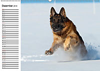 Deutsche Schäferhunde - Senioren auf vier Pfoten (Wandkalender 2019 DIN A2 quer) - Produktdetailbild 12