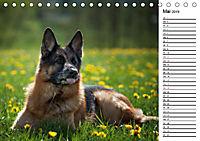 Deutsche Schäferhunde - Traumhunde (Tischkalender 2019 DIN A5 quer) - Produktdetailbild 5