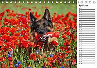 Deutsche Schäferhunde - Traumhunde (Tischkalender 2019 DIN A5 quer) - Produktdetailbild 4
