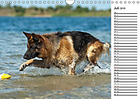 Deutsche Schäferhunde - Traumhunde (Wandkalender 2019 DIN A4 quer) - Produktdetailbild 7