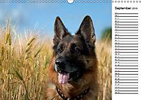 Deutsche Schäferhunde - Traumhunde (Wandkalender 2019 DIN A3 quer) - Produktdetailbild 9