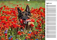 Deutsche Schäferhunde - Traumhunde (Wandkalender 2019 DIN A3 quer) - Produktdetailbild 4