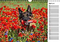 Deutsche Schäferhunde - Traumhunde (Wandkalender 2019 DIN A4 quer) - Produktdetailbild 4