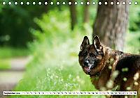 Deutsche Schäferhunde Unsere Graunasen (Tischkalender 2019 DIN A5 quer) - Produktdetailbild 9