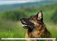 Deutsche Schäferhunde Unsere Graunasen (Wandkalender 2019 DIN A2 quer) - Produktdetailbild 11