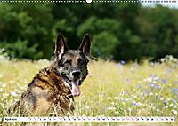 Deutsche Schäferhunde Unsere Graunasen (Wandkalender 2019 DIN A2 quer) - Produktdetailbild 4