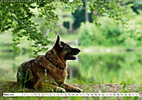 Deutsche Schäferhunde Unsere Graunasen (Wandkalender 2019 DIN A2 quer) - Produktdetailbild 3