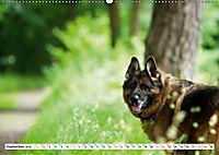 Deutsche Schäferhunde Unsere Graunasen (Wandkalender 2019 DIN A2 quer) - Produktdetailbild 9