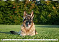 Deutsche Schäferhunde Unsere Graunasen (Wandkalender 2019 DIN A2 quer) - Produktdetailbild 10