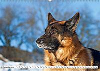 Deutsche Schäferhunde Unsere Graunasen (Wandkalender 2019 DIN A2 quer) - Produktdetailbild 12