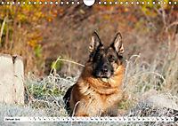 Deutsche Schäferhunde Unsere Graunasen (Wandkalender 2019 DIN A4 quer) - Produktdetailbild 1