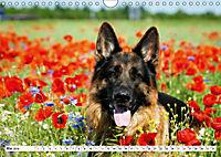 Deutsche Schäferhunde Unsere Graunasen (Wandkalender 2019 DIN A4 quer) - Produktdetailbild 5