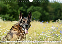 Deutsche Schäferhunde Unsere Graunasen (Wandkalender 2019 DIN A4 quer) - Produktdetailbild 4