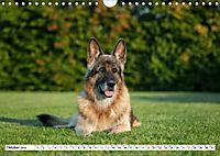Deutsche Schäferhunde Unsere Graunasen (Wandkalender 2019 DIN A4 quer) - Produktdetailbild 10