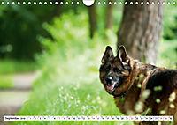 Deutsche Schäferhunde Unsere Graunasen (Wandkalender 2019 DIN A4 quer) - Produktdetailbild 9