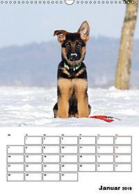 Deutsche Schäferhundwelpen zum Verlieben (Wandkalender 2019 DIN A3 hoch) - Produktdetailbild 1