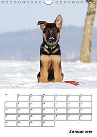 Deutsche Schäferhundwelpen zum Verlieben (Wandkalender 2019 DIN A4 hoch) - Produktdetailbild 1
