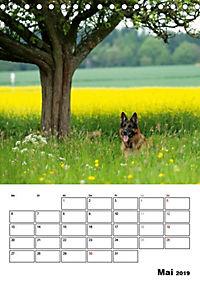 Deutscher Schäferhund - Der beste Freund des Menschen (Tischkalender 2019 DIN A5 hoch) - Produktdetailbild 5