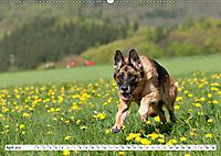 Deutscher Schäferhund - Der beste Freund des Menschen (Wandkalender 2019 DIN A2 quer) - Produktdetailbild 4