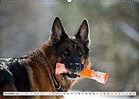 Deutscher Schäferhund - Der beste Freund des Menschen (Wandkalender 2019 DIN A2 quer) - Produktdetailbild 12