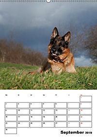Deutscher Schäferhund - Der beste Freund des Menschen (Wandkalender 2019 DIN A2 hoch) - Produktdetailbild 9