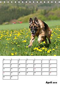 Deutscher Schäferhund - Der beste Freund des Menschen (Tischkalender 2019 DIN A5 hoch) - Produktdetailbild 4