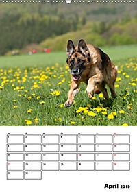 Deutscher Schäferhund - Der beste Freund des Menschen (Wandkalender 2019 DIN A2 hoch) - Produktdetailbild 4