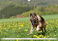 Deutscher Schäferhund - Der beste Freund des Menschen (Wandkalender 2019 DIN A3 quer) - Produktdetailbild 4