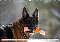 Deutscher Schäferhund - Der beste Freund des Menschen (Wandkalender 2019 DIN A3 quer) - Produktdetailbild 12