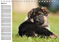 Deutscher Schäferhund - Welpen (Tischkalender 2019 DIN A5 quer) - Produktdetailbild 4