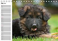 Deutscher Schäferhund - Welpen (Tischkalender 2019 DIN A5 quer) - Produktdetailbild 5