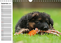 Deutscher Schäferhund - Welpen (Wandkalender 2019 DIN A4 quer) - Produktdetailbild 9